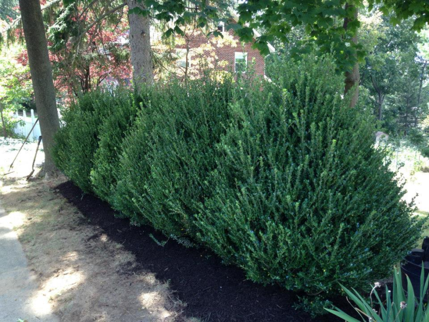 low height evergreens